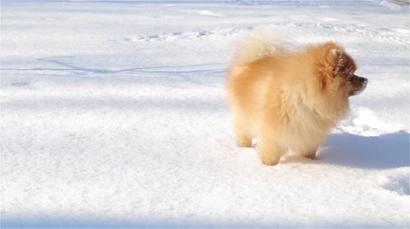taranmamış : Young and playful Spitz eats snow and runs around the tail Stok Video