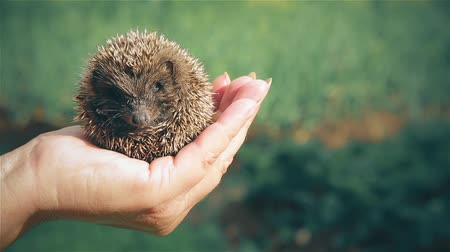 enrolar : A small beautiful hedgehog sitting on the hand of a woman
