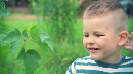 смородина : Little boy eats unripe berries of black currant