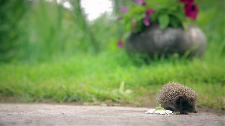 pichlavý : Little hedgehog with a Daisy on pins and needles