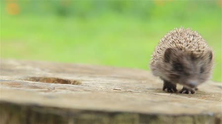 pichlavý : Prickly little hedgehog is looking for her mother
