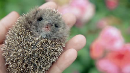 tlapky : Little prickly hedgehog in his hand