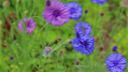 chabry : Blue cornflowers and purple in the garden in summer Wideo