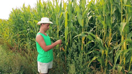 agronomist : A young agronomist rips off an ear of corn in the field