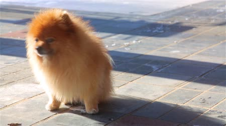 más : Golden purebred young Spitz sitting and yawning