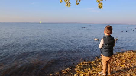 yeşilbaş : Boy autumn on the lake feeding ducks bread HD 1920x1080 Stok Video