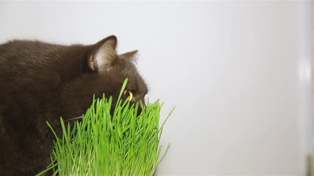 precisão : British breed of cat chocolate brown eats grass HD 1920x1080p