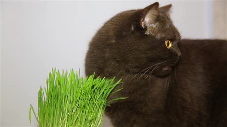 precisão : Cat of the British breed gets the vitamins chewing the green grass