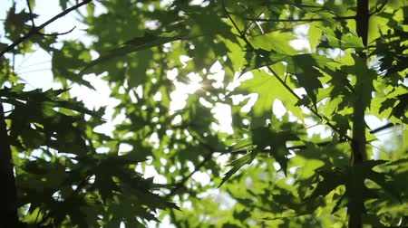 opadavý : Sunlight shines through the green foliage of the maple tree HD 1920