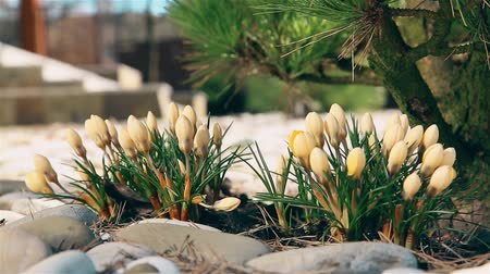 geri yaktı : Snowdrops yellow blooms in early spring near a coniferous shrub