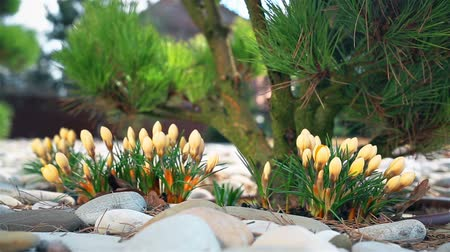 çiğdem : Yellow Crocus flower blooms in early spring near a private house