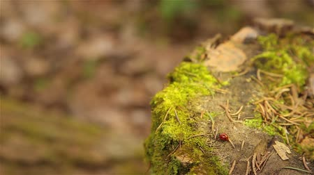 tuskó : Ladybugs crawling on an old stump covered with green moss HD