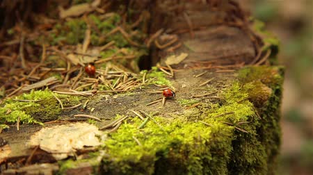 tree stump : Ladybugs crawling on an old stump covered with green moss in the forest Stock Footage