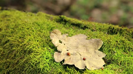 tuskó : Ladybugs crawling on a dry oak leaf on a stump in the woods HD 1920