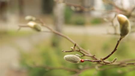 magnólia növény : Red ladybug crawling on fluffy white Magnolia Bud in early spring HD 1920x1080