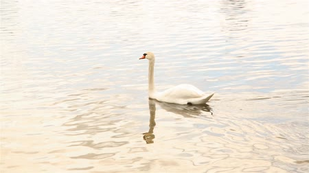 lightweight : Lonely floating white Swan in the pond of the city Park HD 1920x1080