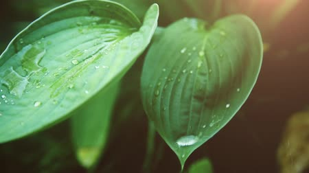 variegado : On a green wet leaf on a Sunny day posted a transparent drop of dew HD Stock Footage