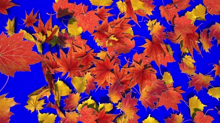 canadian maple leaf : Maple leaves scattered on a blue background HD 1920x1080