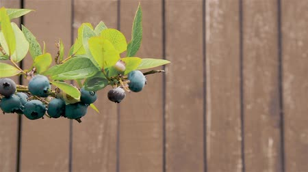 antioksidan : In the garden on a blueberry Bush hanging and ripening berries HD 1920x1080 Stok Video