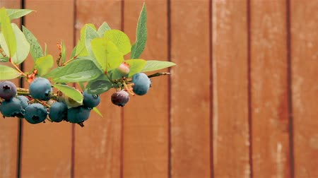 antioksidan : In the month of September in the garden on a branch of a Bush hanging blueberry berries Stok Video