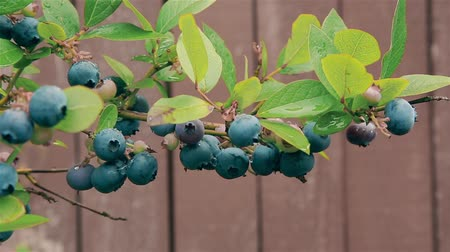 wegen : In the month of September in the garden on a branch of a Bush ripe blueberries HD 1080 Stockvideo
