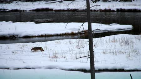 Coyote wondering near a river in the Yellowstone National Park, Montana, USA.