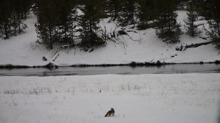 yellowstone : Wild Coyote hunting in Yellowstone National Park, Montana, USA.