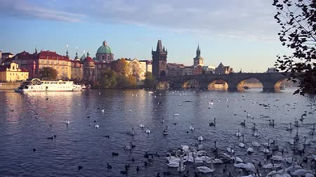Čechy : Swans playing on the Vltava river, background with Prague and Charles Bridge, Czech Republic.
