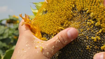 polinização : Sunflower seeds. Ripened pollinated sunflower.