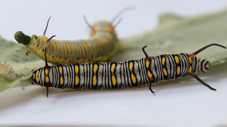 nascimento : Plain tiger caterpillas eating milk weed