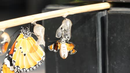 rovarok : New born Plain tiger butterfly emerge from pupa