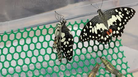 west wing : New born of lime butterflies drying their wing Stock Footage