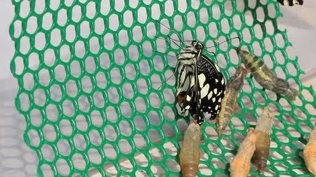 west wing : New born of lime butterfly climbing on lattice