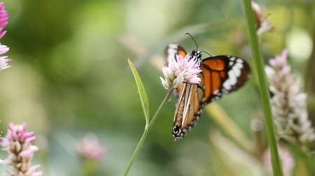 tiger butterfly : The Common Tiger butterfly sucking nectar from flower