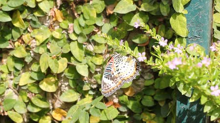 compositae : Leopard Lacewing butterfly flying to flower Stock Footage