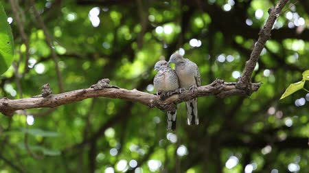 coo : Couple Zebra dove relaxing branch on tree and green background