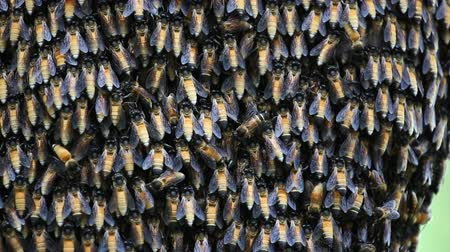 pszczoła : Bee workers holding together for beehive