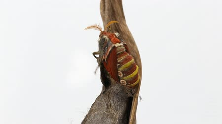 chrysalis : Atlas moth emerging from cocoon