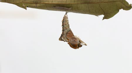 chrysalis : Female of brown prince butterfly emerging from chrysalis