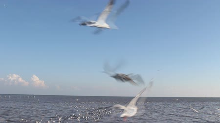 Brown-headed seagull birds (Larus brunnicephalus) flying near sea