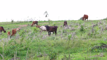 indicus : Herd of Thai domestic beef cattle grazing on green pasture Stock Footage