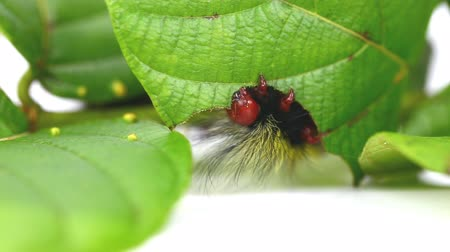 Hairy caterpillar of moth eating host plant