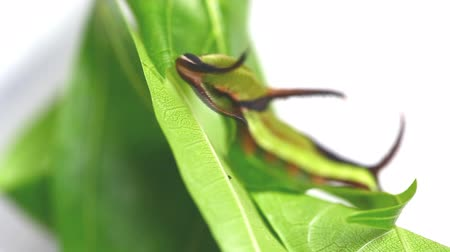 Caterpillar of Common map butterfly (Cyrestis thyodamas) eating host plants leaf