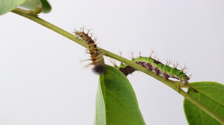 Caterpillar of color Sergeant butterfly are walking on twig (Athyma nefte Cramer)