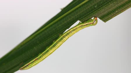 Green caterpillar of moth eating host plant
