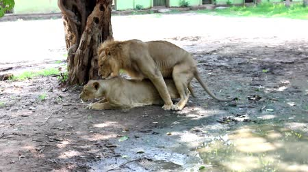 nobreza : Lions in the zoo sexual behavior