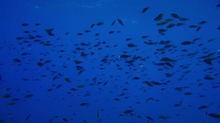 azul : damselfish shoal