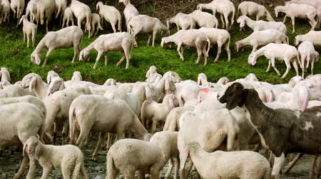 koyun : Herd of goats on pasture eating grass on an alpine road, facing the room Eventually Stok Video