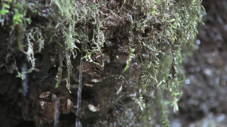 mohás : Close up of dripping water from the moss 2.