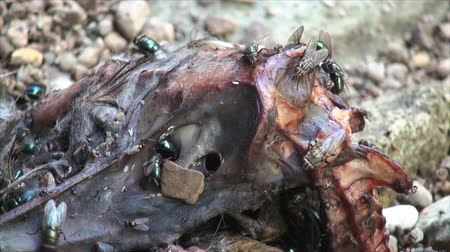 mal cheiroso : Flies and bugs on decaying opossum. Looks like the animal felt from the cliff and die instant 2.
